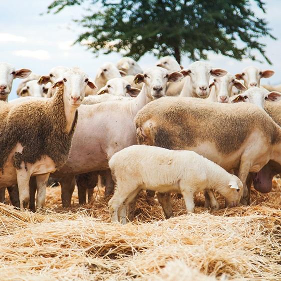 ovejas manchegas para elaborar queso en Herencia